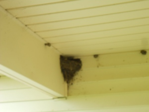 Barn Swallow nests June 14, 2014 Started building them about a week ago (1)