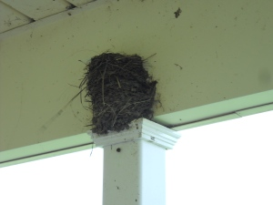 Barn Swallow nests June 14, 2014 Started building them about a week ago (2)