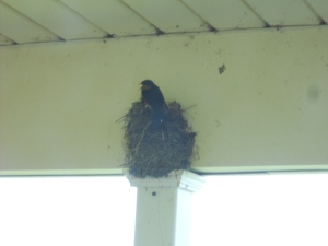 July 12, 2014 Barnswallows north porce (2)