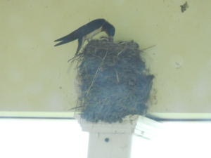 July 12, 2014 Barnswallows north porce (3)