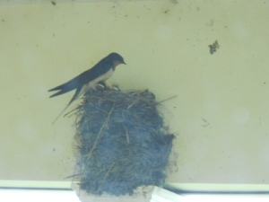 July 12, 2014 Barnswallows north porce (4)