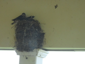 July 21, 2014 Barnswallows north porch(1)