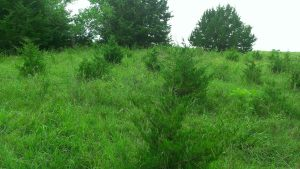 July 18, 2014 Maybe we could call our farm The Cedar Farm!  (1)