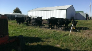 November 1, 2014 The cows, bull and calves are checking out the shed project  (2)
