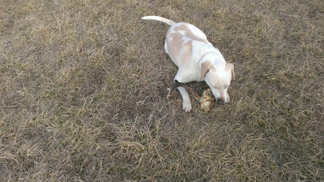 March 13, 2015 Somebody found a burned deer antler and brought it up  (2)