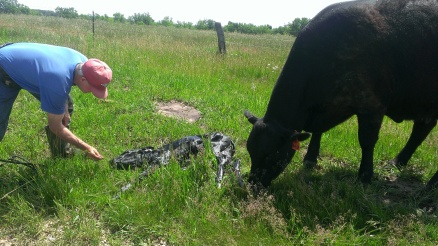May 27, 2015 Jezzy's calf is born safe and sound (1)