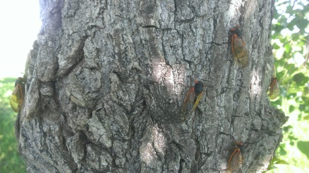 June 8, 2015 17 Year Cicadas are here (1)