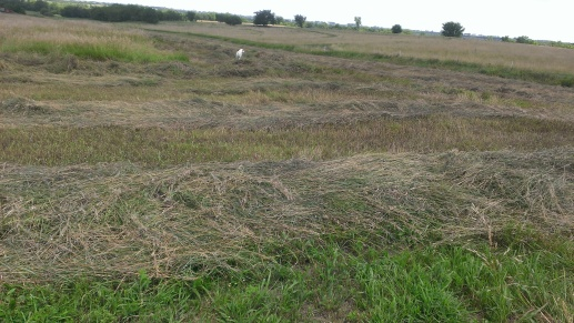 July 23-25, 2015 Finally our hay is getting mowed, raked and baled (2)