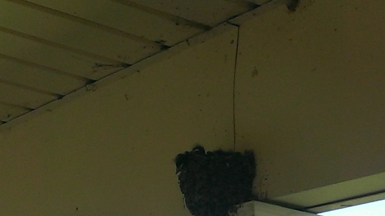 2015 July 28, Newest baby Barnswallows are hatched and growing (1)