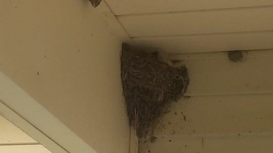 2015 June 6, One pair of the Barnswallows are back.