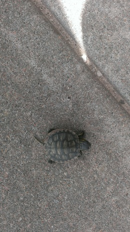 2015 May 25, Baby  turtle on our sidewalk. Think it may be a snapping turtle (1)