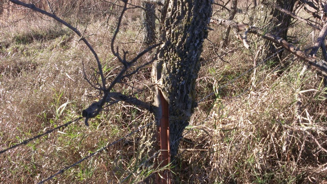 2015 November 1 On a walk around the hay ground, Tom showed me the tree grown around the wires and posts (4)