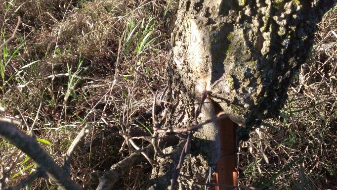 2015 November 1 On a walk around the hay ground, Tom showed me the tree grown around the wires and posts (6)