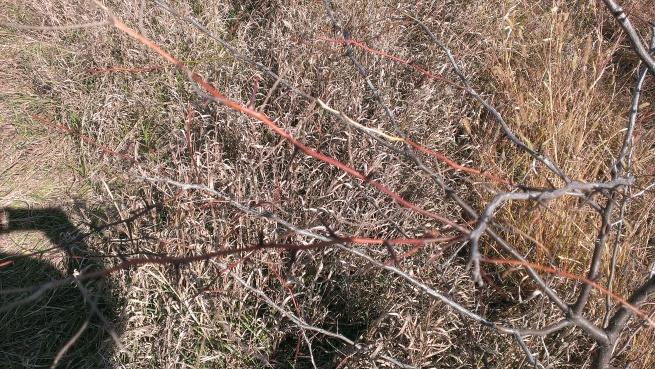 2015 October 11 Taking a walk in the crop ground. Even the weeds are taller than I am. Thorns on the  hedge trees.    (2)