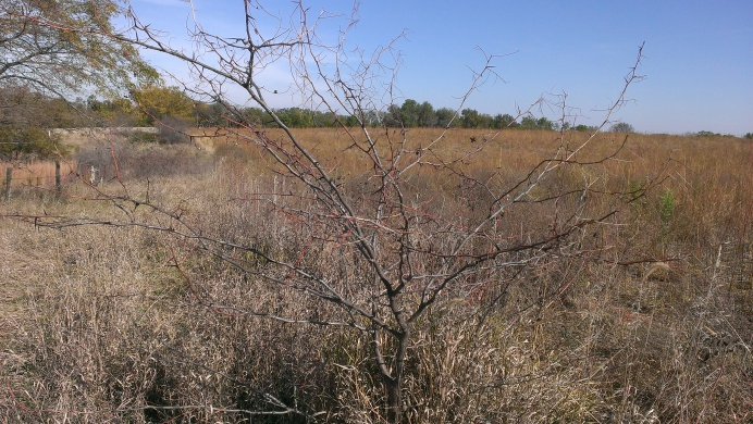 2015 October 11 Taking a walk in the crop ground. Even the weeds are taller than I am. Thorns on the  hedge trees.    (4)