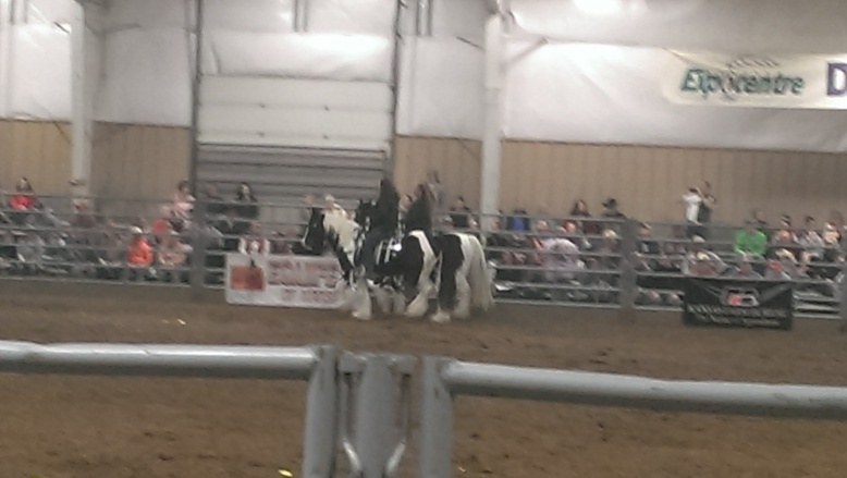 2016 February 26 and 27. Beautiful Gypsy Vanner horses (11)