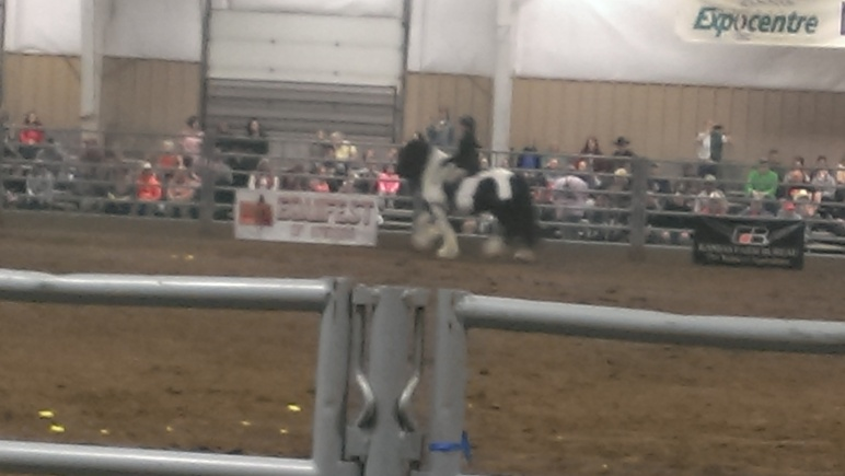 2016 February 26 and 27. Beautiful Gypsy Vanner horses (13)