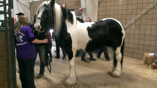 2016 February 26 and 27. Beautiful Gypsy Vanner horses (4)